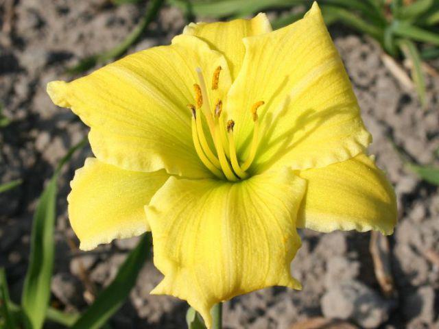 Endlesslily ™ Yellow